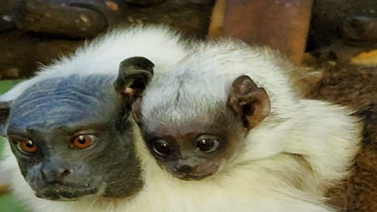 Filhote de sagui ameaçado de extinção nasce no zoológico de Americana
