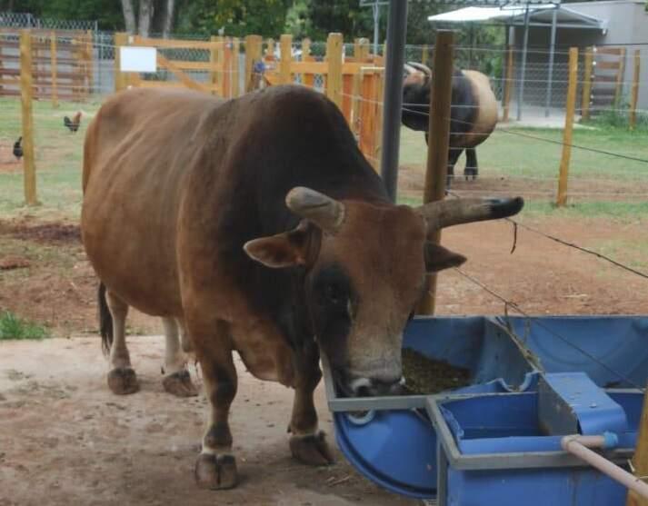 Bombeiro socorre veterinário atacado por touro em Americana