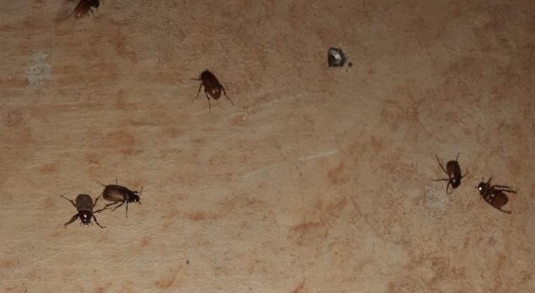 'Invasão' de besouros e outros insetos intriga população na região
