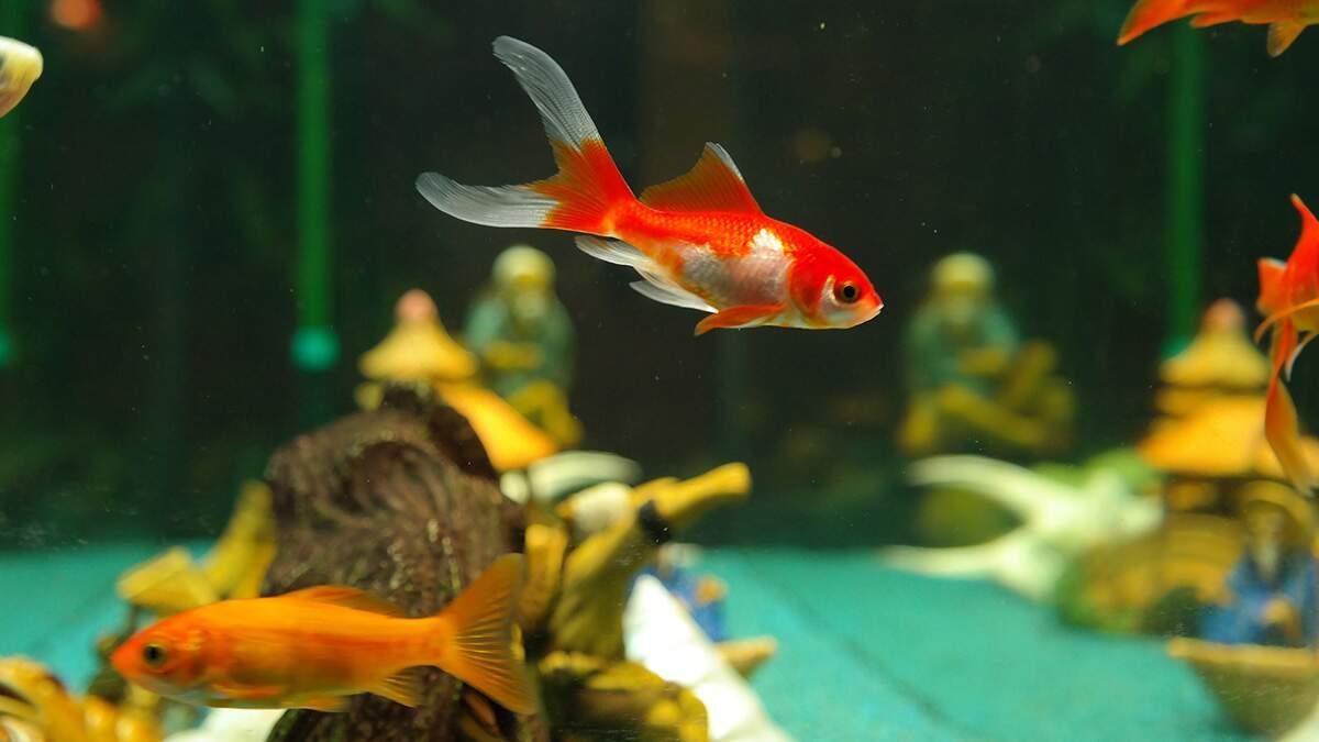 Meus peixes estão morrendo: e agora?