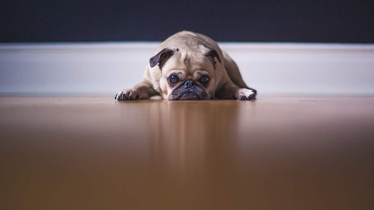 Emocional também interfere na saúde do pet