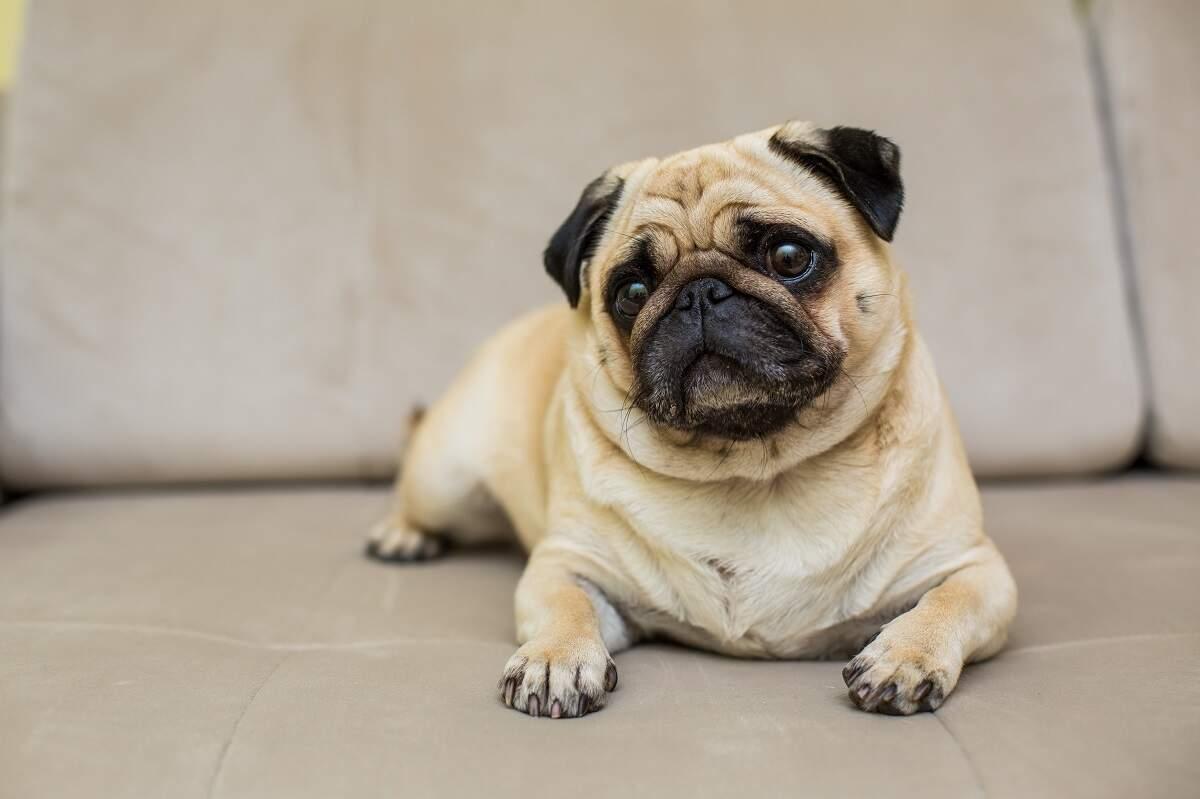 Ceratite pigmentar, a doença que pode levar o Pug a perder a visão